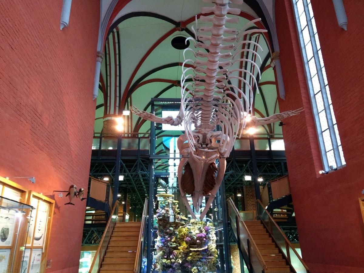 Ein Walskelett im alten Kloster des deutschen Meeresmuseums